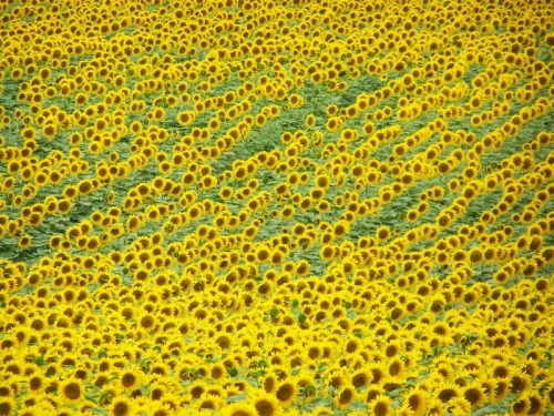 sunflowers-500-500